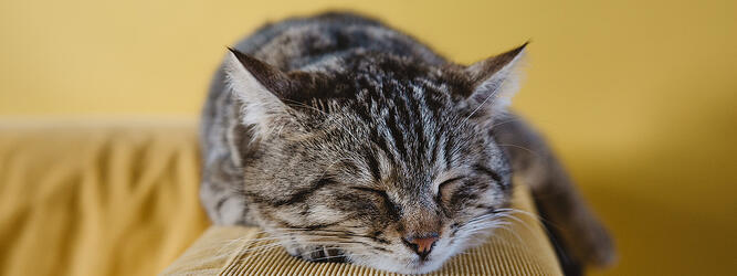 Close-up of sleeping cat's face, while laying on the arm of a sofa.