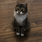 Pryor, a long-haired tabby with white cheeks