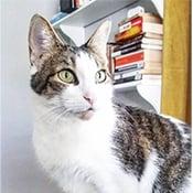 Ava, a tabby with green eyes